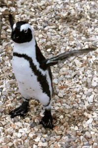 You may remember This Stressed Penguin from a report in 2011. Snapped by our man on the ground. No penguins were harmed in the taking of this photograph. Copyright Graham Holden 2011 photos@gholden.co.uk)(